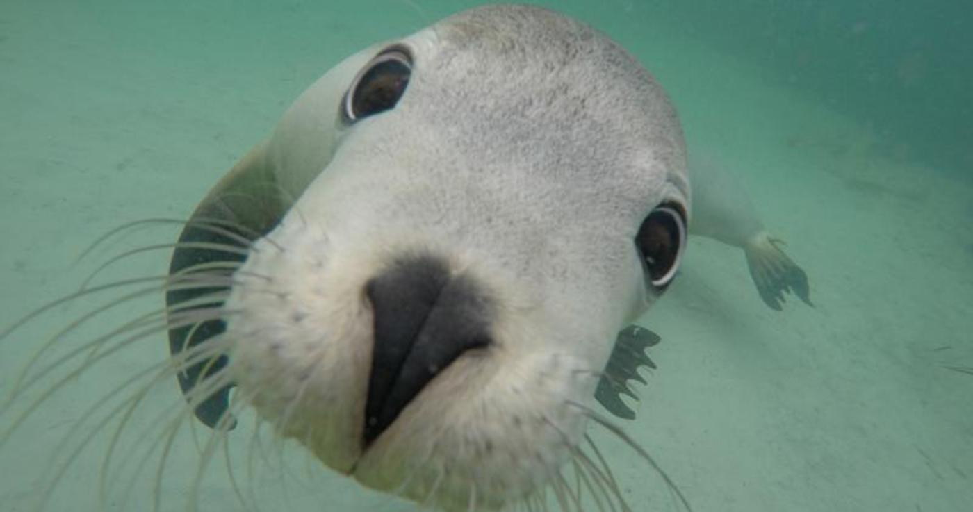 Swim With Sea Lions In Port Lincoln