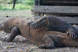 scuba dive komodo dragons day trip luan bajo komodo national park indonesia