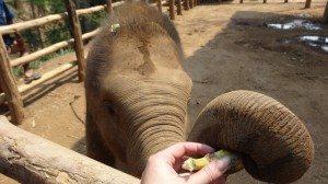 elephant trainer chang mai thailand
