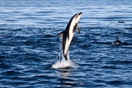 dolphin tour kaikoura swim new zealand south island backpacker