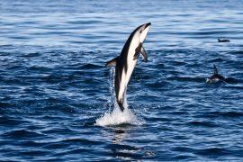 dolphin tour kaikoura swim new zealand south island backpacker