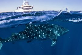 whale shark snorkel tour swim exmouth ningaloo western australia wa exmouth dive diving centre
